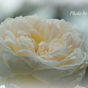 *淡い色をのせた薔薇。。~花菜ガーデン~2♪