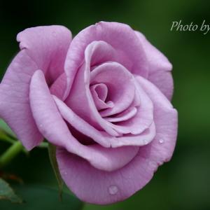 *変わらぬ憧れ。。ブルー系の薔薇たち。。~花菜ガーデン~3♪
