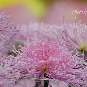 *淡く。。甘く。。pink の菊花たち。。♪