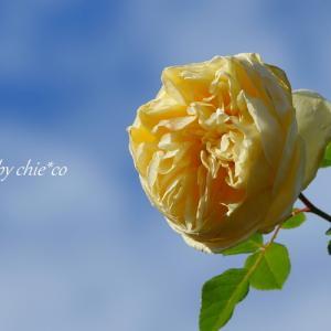 *花彩~暮来月の*桜*と *薔薇*と。。♪