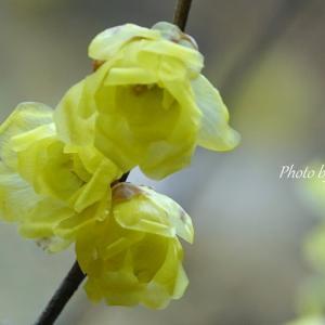 *春をよぶ花の香を。。~鎌倉 明月院の蝋梅(ろうばい)~♪