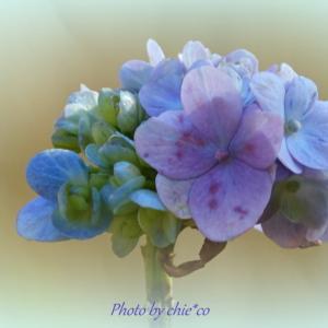 *冬の日の紫陽花いろ。。♪
