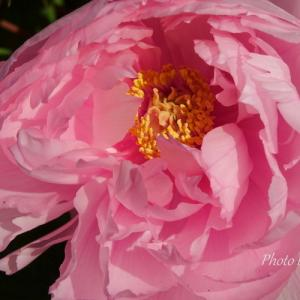 *華やかな pink。。冬ぼたん。。~鎌倉 鶴岡八幡宮~3♪