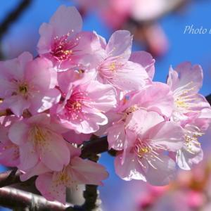 *河津桜 in the blue sky。。~三浦海岸~1♪