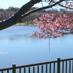 *水辺に揺れる 河津桜。。~三浦海岸~2♪
