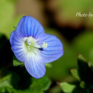 *ちいさな青い花たち。。♪