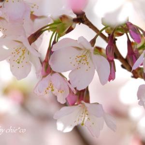 *らんまん。。鎌倉生まれの玉縄桜。。~大船フラワーセンター♪
