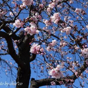 *揺れる 桜pink。。大寒桜。。♪