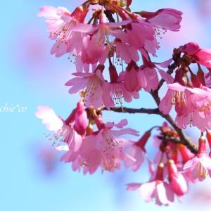 *イギリス生まれのおかめ桜。。♪