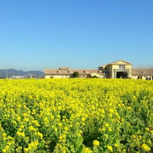 *blue and yellow。。菜の花畑で。。~三浦半島 ソレイユの丘~♪