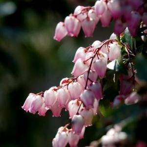 *可憐な鈴なり。。馬酔木(あせび)の花たち。。♪