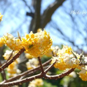 *可憐な yellow。。春の香り。。♪