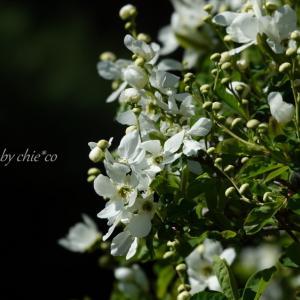 *耀いて。。弥生の白い花たち。。♪