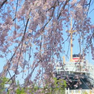 *しだれ桜が彩る風景。。~横浜 山下公園~♪