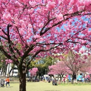 *横浜緋桜が彩る風景。。~横浜公園~♪
