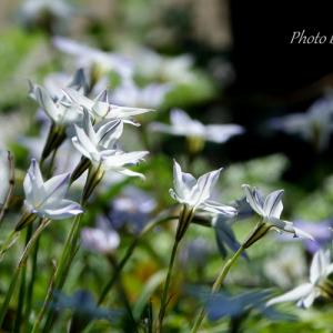 *spring starflower~春の星の花~♪