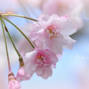 *紅しだれ桜が彩る風景。。