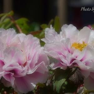 *牡丹の花 咲くころ。。♪