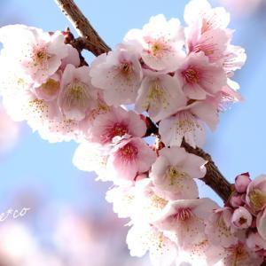 *桜~。さくら~。あたみ桜~。。~熱海~♪
