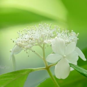 *優美な白。。~*山あじさい*~1♪