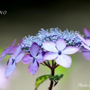 *浅紫の趣(おもむき)。。~*山あじさい*~3♪