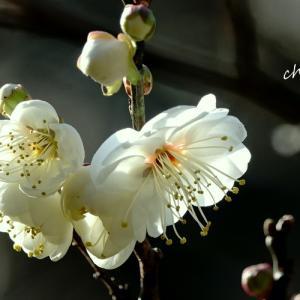 *清らかに香る。。白梅。。~熱海梅園~1♪