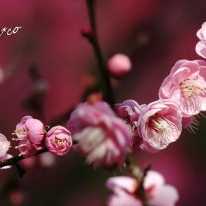 *淡く。。濃く。。紅梅の彩。。~熱海梅園~2♪
