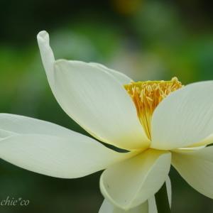 *こころ洗われる白。。蓮の花。。♪