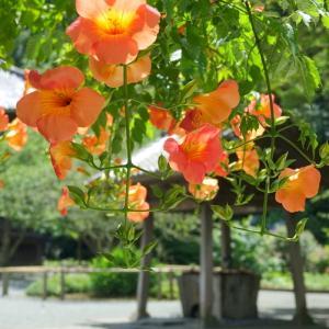 *夏衣をまとう 鎌倉 妙本寺。。~凌霄花が咲くころ~♪