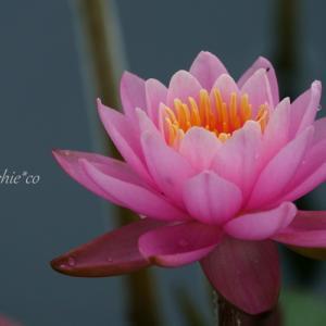 *水の妖精* ~睡蓮 Water lily~♪