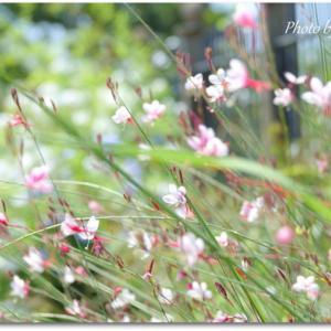 *優しく揺れて・・白蝶草。。♪
