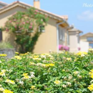 *黄色のバーベナ。。bicolor flowers♪