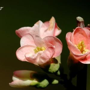 *華~バラ科の彩~木瓜(ぼけ)と。。薔薇。。♪