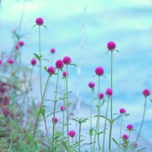 *千日紅の花揺れる・・横浜 山手イタリア山庭園。。♪