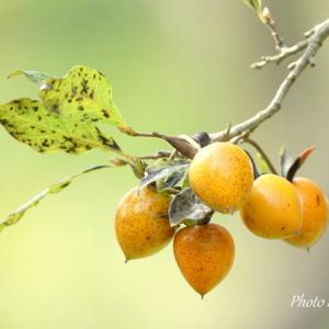 *cute persimmons。。♪