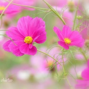 *pink。。秋桜。。♪