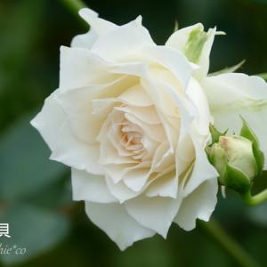 *白~ソフトベージュ。。~薔薇の花たち~♪