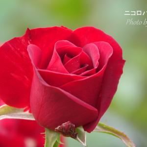*真っ赤な薔薇たち。。♪
