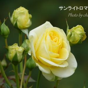 *yellow。~あぷりこっといろ。。薔薇たち。。4♪