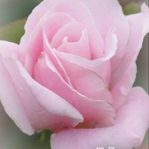 *桜いろの薔薇たち。。5♪