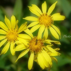 *小春日和の yellow。。~横浜 森浅間神社~♪