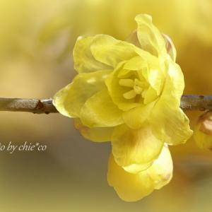 *甘~い香り。。蝋梅(ろうばい)の花。。♪