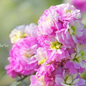 *春いろ。。 ピンクのストックたち。。♪