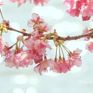 *池の畔とキャベツ畑で。。河津桜。。三浦海岸 2♪