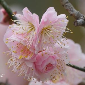 *ふんわり~pink。の風待草。。♪