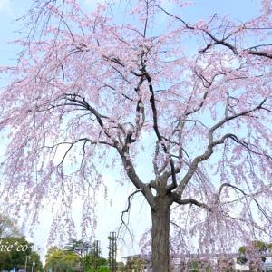 *しだれ桜の咲く風景。。横浜 山下公園。。♪