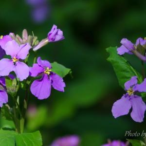 *はなだいこん。。アメジスト色の花群れ。。♪