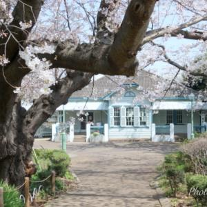 *桜さんぽ。。横浜  山手公園。。♪