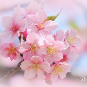 *河津桜と。。菜の花と。。赤い電車と。。~三浦海岸~1♪