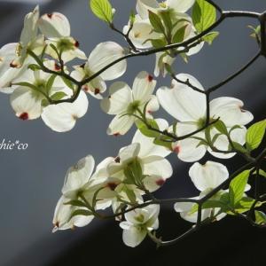 *白い花水木と。。新緑の街で。。♪